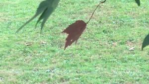 bailey red leaf
