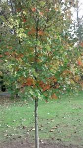 Baileys tree fall 2013