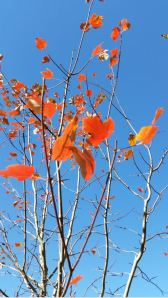 baileys tree fall 2014 naked leaves 4